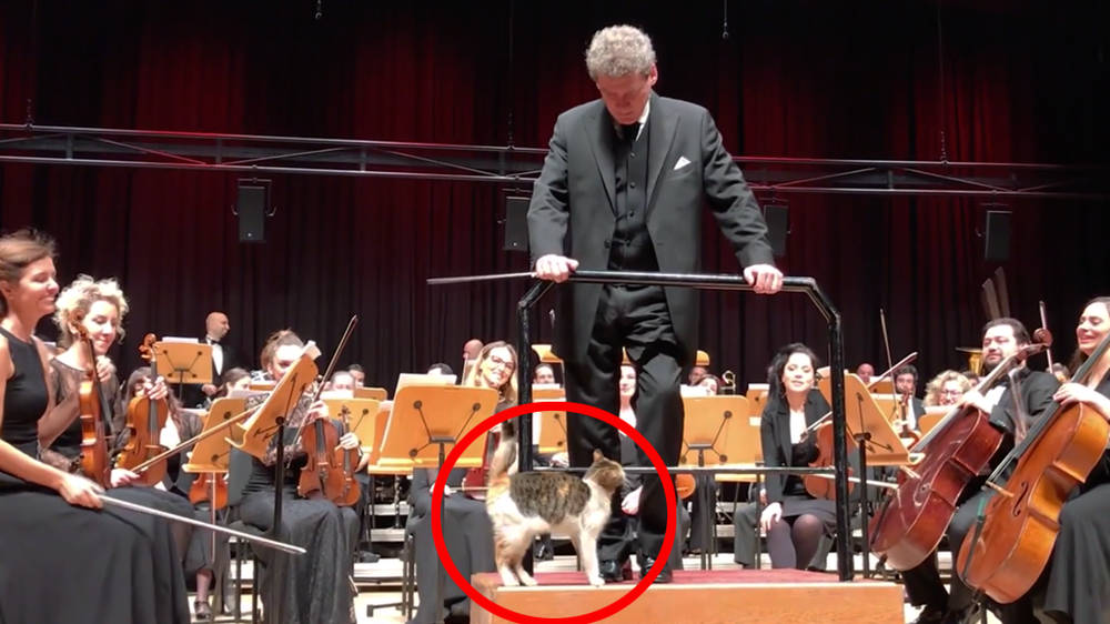 Naughty cat disrupts live orchestra concert and steals the show
