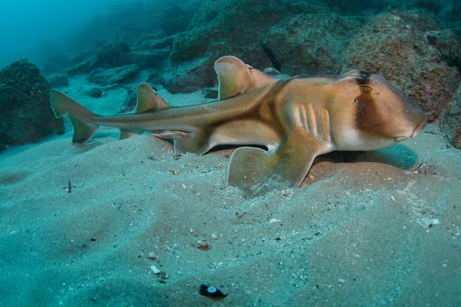 A Port Jackson shark