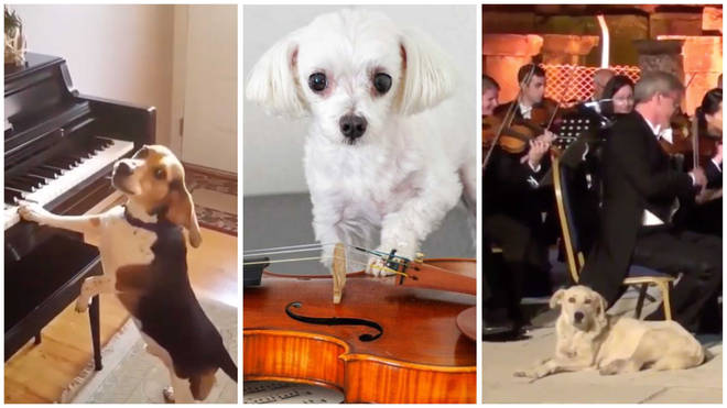 Classical music-loving dogs