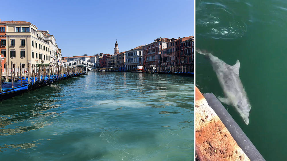 Venice canals run clear, dolphins appear in Italy's waterways amid ...