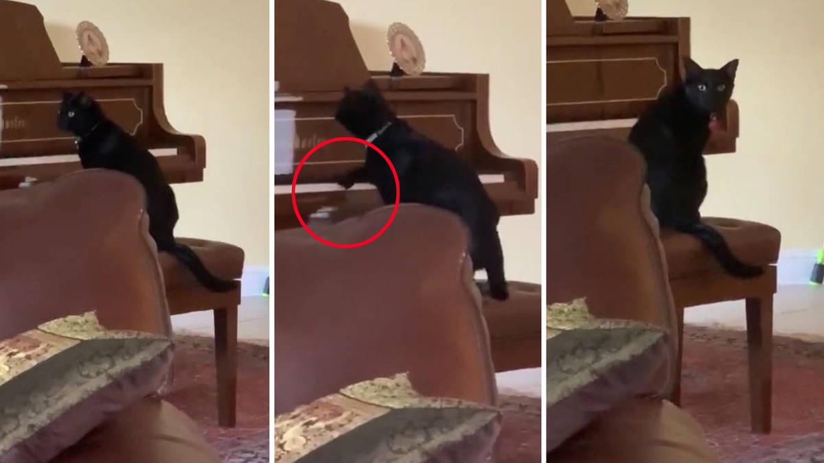 Muso cat tries to play piano, keeps forgetting it literally hates the sound