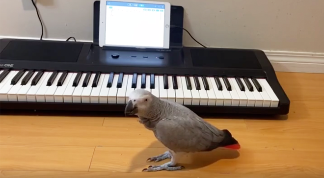 Parrot plays 'Happy Birthday' on the piano