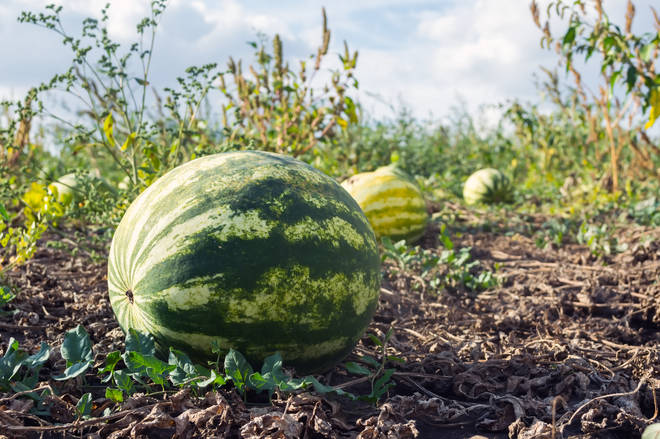 A farmer in Central Macedonia says that playing his watermelons classical music helps them grow