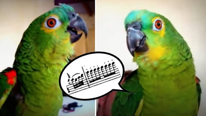 Operatic parrot sings Mozart's Queen of the Night aria