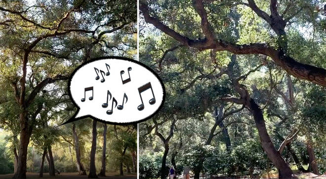 The trees are singing in Descanso Gardens