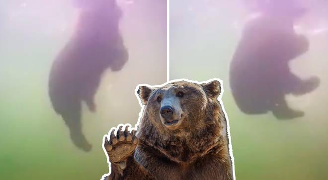 Burly brown bear caught ballet dancing underwater on webcam footage