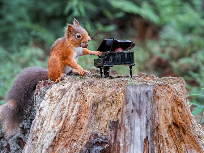 Red squirrel pictured 'playing' the piano in Scotland