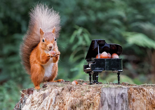 The squirrel reached inside the mini piano to retrieve the hazelnuts