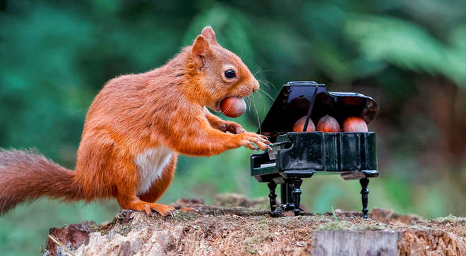 Red squirrel photographed 'playing' a piano in Scotland