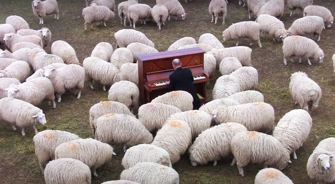Pianist plays piano to sheep in New Zealand