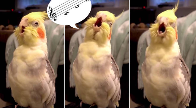 Cockatiel appears to practise operatic scales