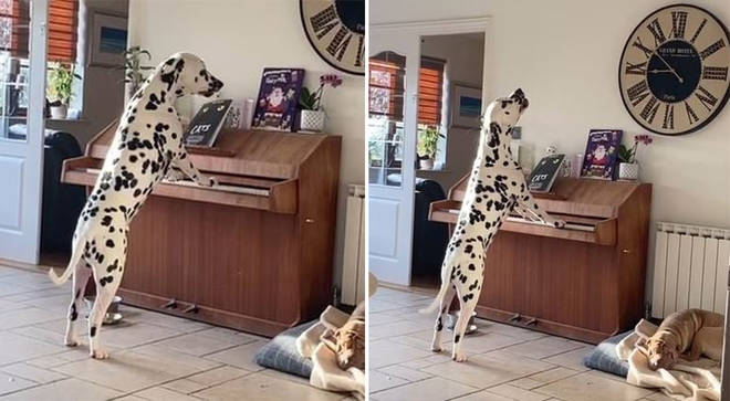 Owners capture astonishing footage of Dalmatian playing piano and singing along