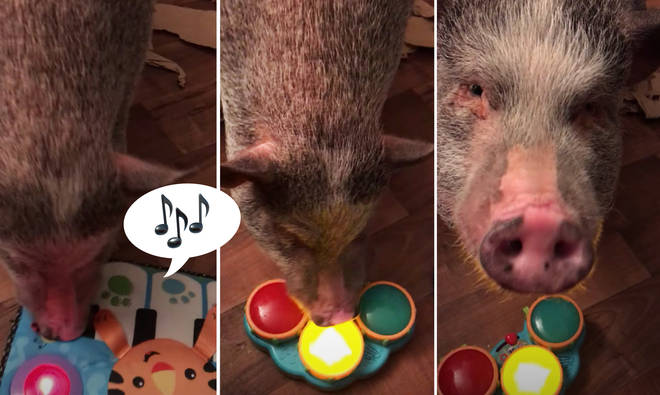 Musical pig plays instruments, and it's sow good