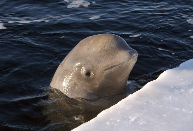 By playing classical music, the ice-breaking ship Moskva was able to encourage 2,000 beluga whales to follow the vessel to safety.