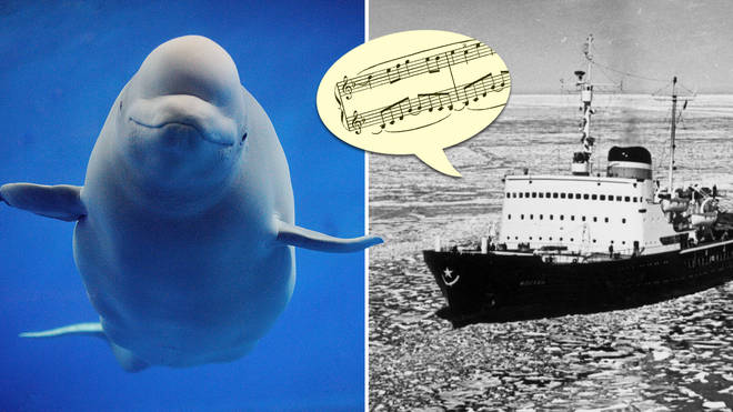 The time a Russian icebreaker played classical music, and saved thousands of Beluga whales