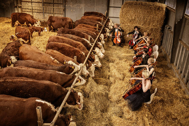 Eight cellists play recital for Hereford cows