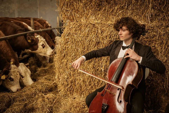 Cellist plays for a bovine audience in Denmark