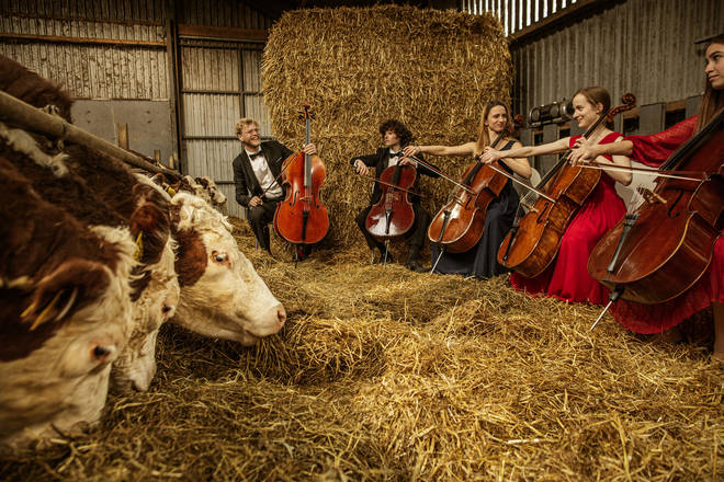 Cows a-moosed listening to Liszt Hungarian Rhapsodies