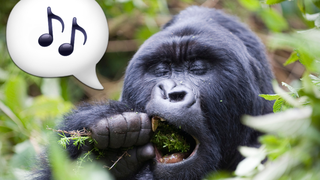 Hear these wild gorillas composing special 'songs' and 'humming' during mealtimes