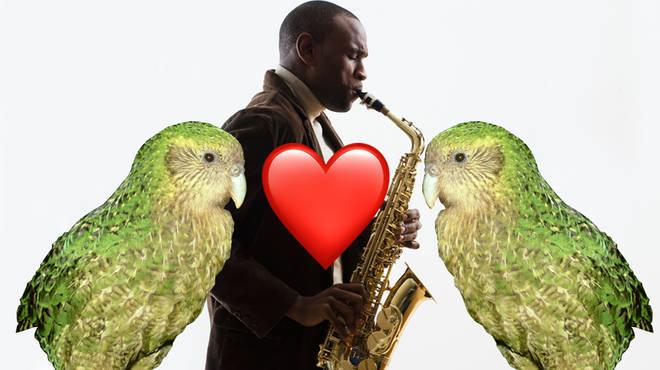 Saxophone music might be the key to saving kākāpō