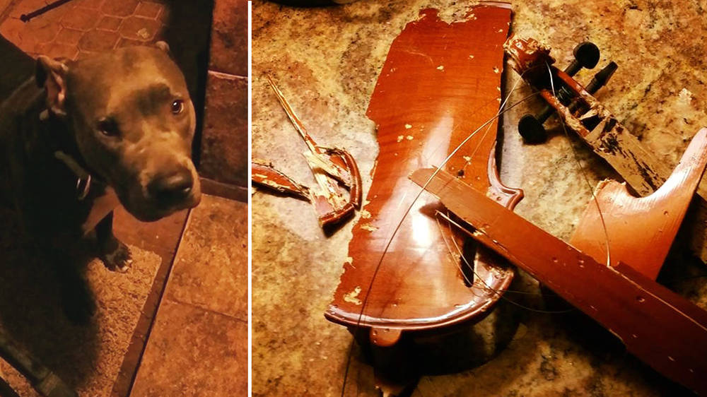 This dog ATE her owner's violin
