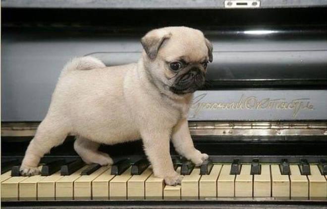 Pug on piano