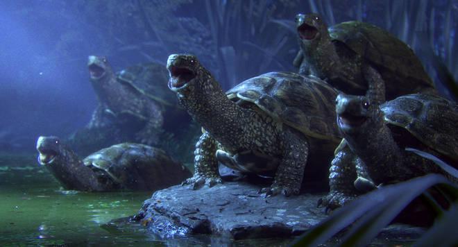 Turtles sing Bellini chorus